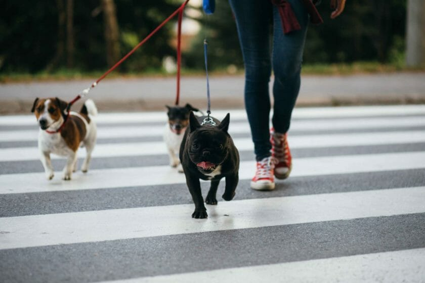 3 dogs walking on road with dog walker